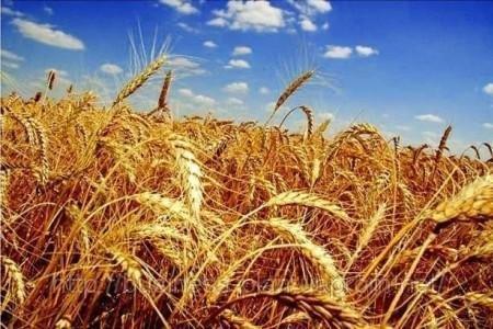 Аграриям нехватит хранилищ для рекордного урожая зерна в2015г.
